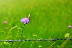 Mariposa anaranjada en la cerca escabiosa y del metal caucásica púrpura Imagenes de archivo