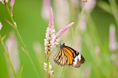 Mariposa anaranjada en la flor Fotografía de archivo libre de regalías