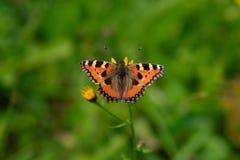 Mariposa anaranjada en la flor, alas de extensión fotografía de archivo