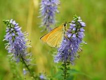 Mariposa anaranjada en la flor azul, Lituania imágenes de archivo libres de regalías