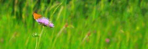 Mariposa anaranjada en la flor púrpura Imágenes de archivo libres de regalías