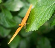 Mariposa anaranjada en la hoja verde Imágenes de archivo libres de regalías