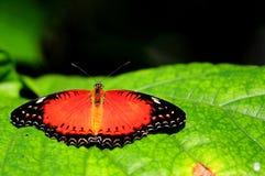 Mariposa anaranjada en la hoja verde en pajarera Fotografía de archivo libre de regalías