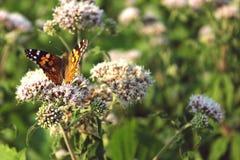 Mariposa anaranjada en las flores Imagenes de archivo
