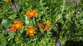 Mariposa anaranjada en las flores anaranjadas Foto de archivo libre de regalías