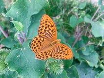 Mariposa anaranjada en las hojas verdes Foto de archivo
