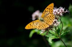 Mariposa anaranjada en una flor Imagen de archivo libre de regalías