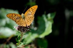 Mariposa anaranjada en una flor Imagenes de archivo