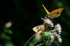 Mariposa anaranjada en una flor Foto de archivo