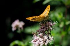 Mariposa anaranjada en una flor Foto de archivo libre de regalías