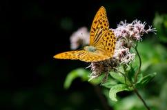 Mariposa anaranjada en una flor Fotografía de archivo libre de regalías