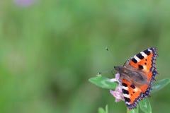 Mariposa anaranjada en una flor Fotos de archivo libres de regalías