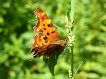 Mariposa anaranjada en una hoja Imagen de archivo libre de regalías