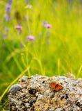Mariposa anaranjada en una piedra Fotografía de archivo libre de regalías