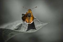 Mariposa anaranjada linda en la hoja en fondo blanco y negro Fotos de archivo libres de regalías