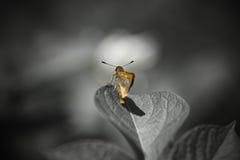 Mariposa anaranjada linda en la hoja en fondo blanco y negro Fotos de archivo