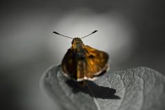 Mariposa anaranjada linda en la hoja en fondo blanco y negro Fotografía de archivo