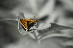 Mariposa anaranjada linda en la hoja en fondo blanco y negro Imagenes de archivo