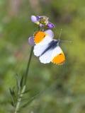 Mariposa anaranjada masculina de la extremidad Fotos de archivo