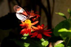 Mariposa anaranjada, negra y blanca de Longwing, llave del piano Foto de archivo libre de regalías