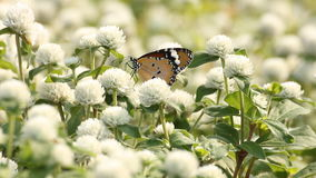 mariposa anaranjada que chupa el polen de la flor almacen de metraje de vídeo