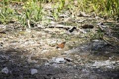 Mariposa anaranjada que separa sus alas en el Sun fotos de archivo