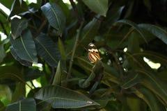 Mariposa anaranjada y amarilla en hojas verdes foto de archivo