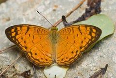 Mariposa anaranjada y marrón Imagen de archivo libre de regalías