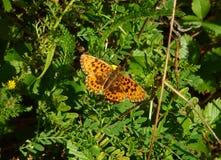 Mariposa anaranjada y marrón que se sienta en una planta Imagen de archivo