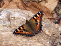 Mariposa anaranjada y negra brillante del virrey que descansa sobre piedra en sol de la mañana pronto después de eclosing de cris fotos de archivo libres de regalías