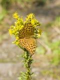 Mariposa anaranjada y negra en la vara de oro floreciente, solidago, primer con el fondo del bokeh, foco selectivo, DOF bajo Imagen de archivo libre de regalías