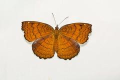 Mariposa angulosa del echador foto de archivo