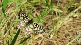 Mariposa arlequin Zerynthia ruminaÂ蝴蝶 免版税库存照片