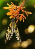 Mariposa asiática suroriental de la ninfa del árbol Foto de archivo