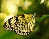 Mariposa asiática suroriental de la ninfa del árbol Fotos de archivo