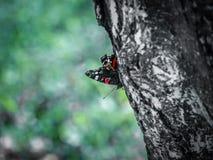 Mariposa asombrosa Imágenes de archivo libres de regalías