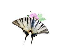 Mariposa asombrosa del machaon Fotos de archivo