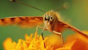 Mariposa asombrosa macra que se sienta en los pétalos brillantemente coloreados hermosos de la flor del verano almacen de metraje de vídeo