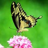 Mariposa atada trago Fotos de archivo