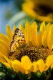 Mariposa aterrizada en el girasol Imágenes de archivo libres de regalías