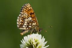 Mariposa (athalia del melitaea) Imágenes de archivo libres de regalías