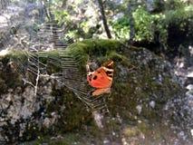 Mariposa atrapada Imagenes de archivo