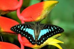Mariposa azul Foto de archivo libre de regalías