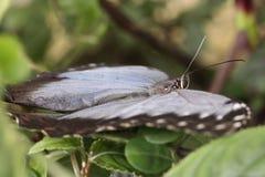 Mariposa azul Imágenes de archivo libres de regalías