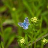 Mariposa azul Imagen de archivo