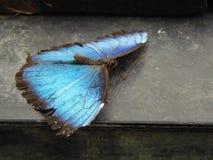 Mariposa azul Foto de archivo