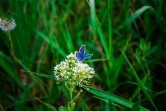 Mariposa azul Fotos de archivo libres de regalías