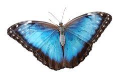Mariposa azul aislada del menelaus del morpho Imagenes de archivo