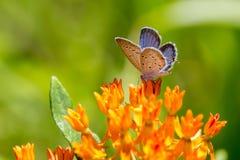Mariposa azul atada del este en la mala hierba de mariposa 1 fotos de archivo