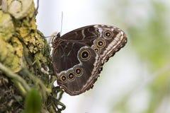 Mariposa azul atractiva del morpho con las alas cerradas Imagen de archivo